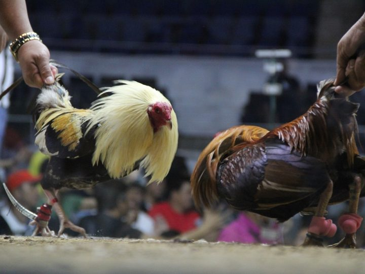 WSC-2019-will-showcase-the-best-breeds-and-bloodlines-in-the-9-cock-invitational-derby-2
